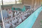Online training gives wings to developing poultry farmers